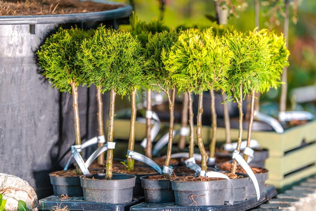 ТУ БИШВАТ - Новый год деревьев